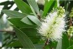 melaleuca-leucadendron-cajeput