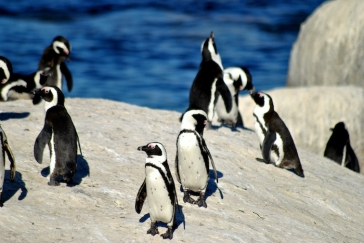 Penguins-on-the-beach-Cape-Town-South-Africa-shutterstock_775935241
