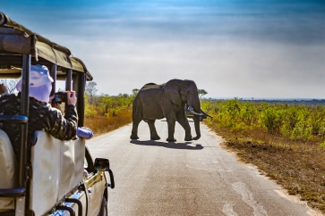 South-Africa.-Safari-in-Kruger-National-Park-African-Elephants-Loxodonta-africana-shutterstock_557534059
